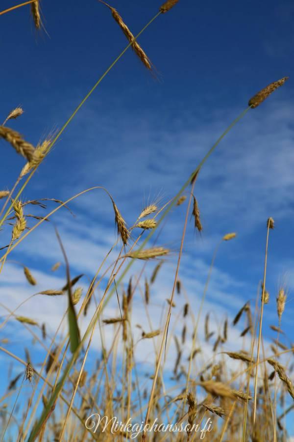 luomuviljely viljapelto